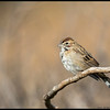 A perched Lark Sparrow just waiting for his picture to be taken.