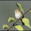 A juvenile Chipping Sparrow pretending to be an extra leaf.