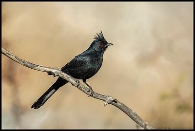 A male Phainopepla trying to decide which tree full of berries to fly to next.