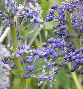 050423_Cuyamaca_SD-Mtn-Lilac_Caenothus-cyaneus