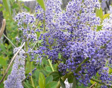 Cuyamaca_050423_flowers
