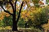 D273-2012 Warming Filter.<br /> Leaves of a sassafras create a golden light on an autumn day.<br /> .<br /> Hidden Lake Gardens, Lenawee County Michigan.<br /> September 30, 2012.