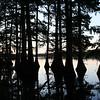Cypress trees on Lake Providence, La