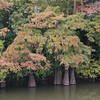 Cypress trees on the White River