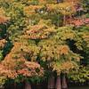Cypress along White River