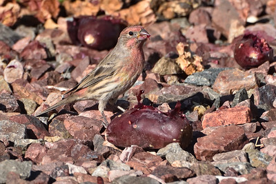 House Finch Eating a Cactus Fruit