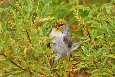 Verdin in the bushes