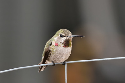 Female Annas Hummingbird