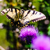 Eastern Tiger Swallowtail in the Thistles
