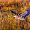 Great Blue Heron, Bombay Hook, DE