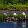 Great White Egrets and Snowy Egret