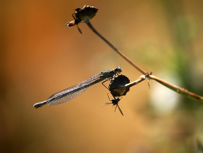 Damselfly, and friends
