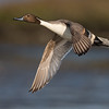 Northern Pintail duck in-flight Bolsa Chica Wetlands • Huntington Beach, CA
