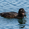White-winged Scoter Swallowing a Clam