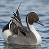 Northern Pintail Courtship Display