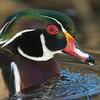 American Wood Duck Portrait