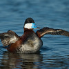 Ruddy Duck