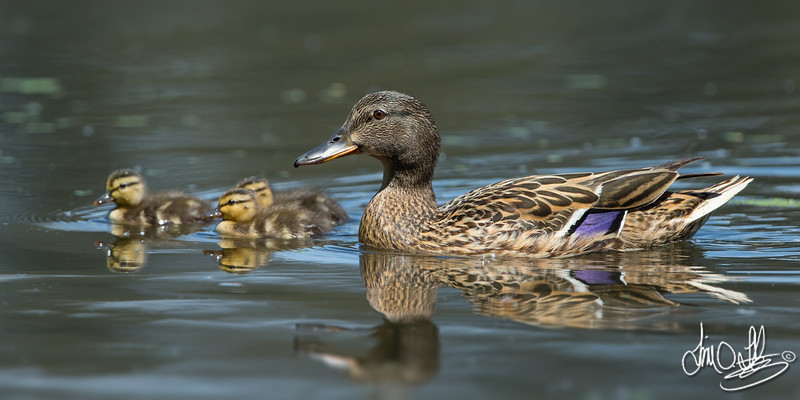 Female Mallard and Her Ducklings