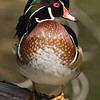 American Wood Duck