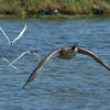 Canadian Goose chased by Forster's Terns Bolsa Chica Wetlands • Huntington Beach, CA