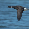Brant inflight Bolsa Chica Wetlands • Huntington Beach, CA