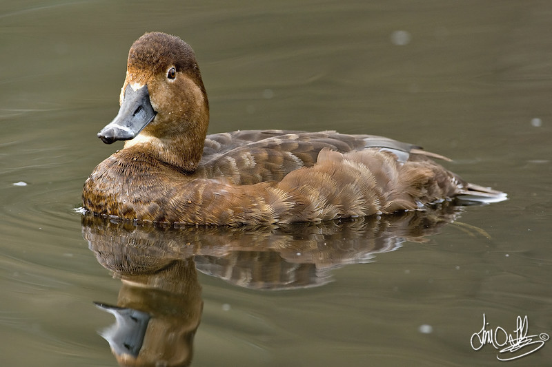 Redhead Duck (female)