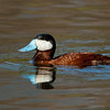 Ruddy Duck (male)