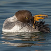 Common Goldeneye hen preening