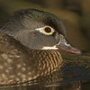 American Wood Duck Portrait (female)