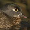 American Wood Duck Portrait (female)
