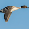 Northern Pintail Bolsa Chica Wetlands • Huntington Beach, CA