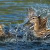 Mallard (hen) Attacking an unfamiliar Duckling