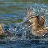 Mallard (hen) Attacking an unfamiliar Duckling