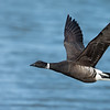 Brant In-Flight
