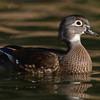 American Wood Duck (female)