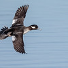 Bufflehead (female)