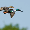 Northern Shovelers In-Flight