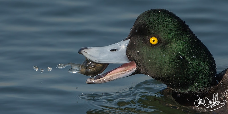 Lesser Scaup eating a clam