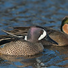 Blue-winged Teal and Hybrid Green-winged Teal
