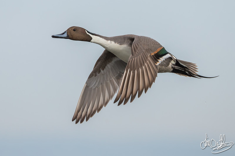 Northern Pintail on a Cloudy Afternoon