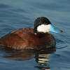 Ruddy Duck Bolsa Chica Wetlands • Huntington Beach, CA