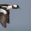 Bufflehead in flight (male) Bolsa Chica Wetlands • Huntington Beach, CA