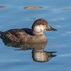 Black Scoter (female)