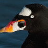 Surf Scoter Portrait