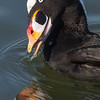 Surf Scoter swallowing a clam