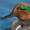 Green-winged Teal Portrait