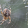 Spider on dew