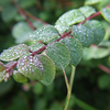 Dew on leaves
