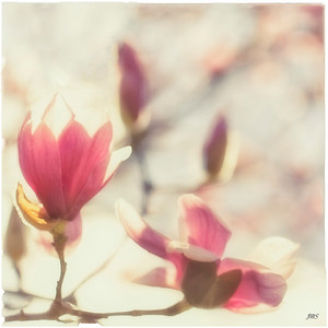 Magnolia Squared Day 74 of 365 March 15, 2013