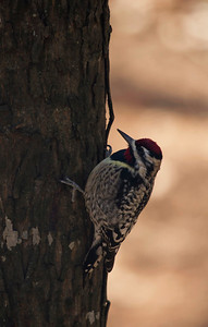 Yellow-Bellied Sapsucker Day 68 of 365 March 9, 2013